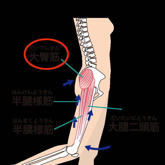 O脚改善に必要な筋トレ:臀筋