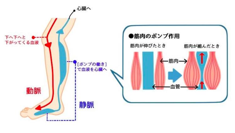 筋肉ポンプ作用